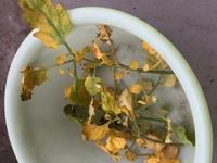 ミニトマト 下の葉が黄色くなってしまいました。   先程ベランダにいくと下の方の葉が山吹色になっていて手で枝を触るとぽろっと落ちてしまいました。上は大丈夫です。  まだ収穫はして なくて身が赤くなっ...