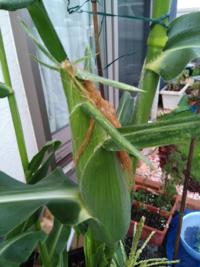 トウモロコシを収穫した後の茎はどう処理するんでしょうか? 皆さんどうしてますか? はじめてですので宜しくお願い致します!