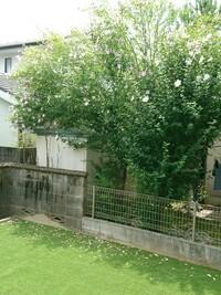 隣人の木の花びらが落ちてきます。 写真添付しています。 隣人の木が少し我が家の庭に入ってきており風向きからかとにかく葉と花びらが落ちてきます。 一年前までは我が家もまだ庭整備をして おらず雑草に手こ...