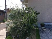 オリーブの木の剪定の仕方について、詳しい方アドバイスお願いします! 家のシンボルツリーに植え2年過ぎました。 植木屋さんに植えてもらい支柱はあります。 一度も剪定せずに今に至ります。 切るタイミングがあるのかなと思ってましたが。 あまりにも生い茂り、流石に良くないですね。 剪定バサミ も買わなきゃです。 いざ剪定しよう思っても 素人なため どこから手を付けて良いやら。。 画像...
