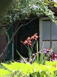球根で 雑草のような花 この花の名前を教えてください よろしくお願い致します