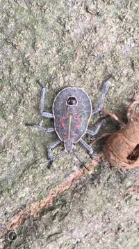 これなんて虫ですか?横歩きみたいな歩き方をしてとても平たかったです