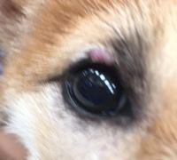 飼い始めた犬の目の上の出来物が気になります。これはマイボーム腺腫というものでしょうか? 生後4カ月で2週間前あたりからみられます。