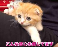 ヒカキンが飼い始めたスコティッシュフォールド猫はどれくらいの値段がしそうですか?