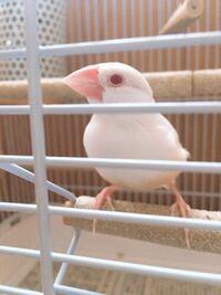 生後3ヶ月〜4ヶ月ほどのシナモン文鳥ちゃんなんですが、オスかメスか分かりません。 画像で判断できますかね…?