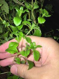 ハーブのステビアについて質問です。 家庭の植木鉢でステビアを育てているんですが、成長過程で茎の部分が赤紫っぽくなってきました!茎は細く、硬くなっている気がします。  茎が赤紫っぽくなっている原因はなん...