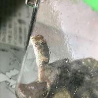 カエルの種類 画像のカエルの名前を教えてください。 中国地方。その辺にいたカエルです。