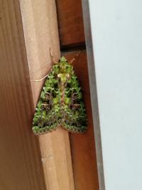 長野県乗鞍岳のトイレの壁に変わった模様の蛾を見つけました、名前の分かる方がいたら教えて下さい!