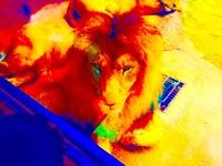 ☆ ライオン(雄)を番犬として飼育したら最強の番犬になりますかね? まず、ライオン(雄)は番犬として適しているでしょうか? 戦闘力や嗅覚、聴覚などの「番犬」としてのステータスは高いと思いま すか?