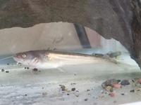 琵琶湖の近くでとれたナマズの稚魚なのですが、これは何ナマズですか?生物学部の息子はビワコオオナマズだというのですが、私にはマナマズにしか見えません。よろしくお願いいたします。