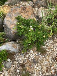 この植物は何といいますか? 函館の恵山で見ました。