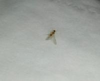 羽アリについて  この時期になると必ず写真の羽アリ?が大発生します。 この虫がなんなのか分かる方、どうか教えてください。 日中は留守なのでわかりませんが、夕食時に窓を開けてると網戸 のすき間から入っ...
