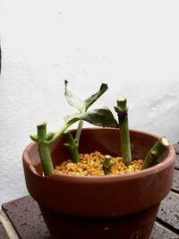 アジサイの挿し木苗を作り知り合いにあげましたが、水遣り忘れた日が何日もありすっかり葉が枯れおちました。さっそく回収し、明るい日陰にてお皿に水を張り鉢を浸けて様子見してますが、どうでしょうか?軽く引っ張 っても抜けずある程度しっかりはしてますが…