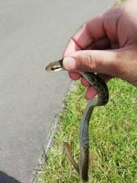 道端で小さい蛇を見つけました この蛇の名前を教えてください 友達が飼おうと考えています