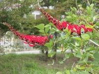 この花,ずっとアメリカデイゴだと思っていましたが,少々自信がなくなりました。 木だからコエビソウではない,サンゴシトウかもしれない,わかりません。 おわかりの方,よろしくお願いします。