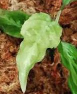 アグラオネマピクタムについて 画像の様に葉の色が薄い原因はなんでしょうか? 管理は室内で常温常湿管理でカーテン越しの光での管理です。 肥料は緩効性肥料(マグワンプ)を与えております。 サーキュレーターを1日10時間程度回しております。