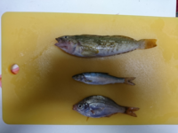 石狩湾新港で釣りました。 この魚はなんと言う魚でしょうか?