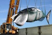 現代欧米人にとって、クジラやイルカはそんなに神聖なものなのですか? IWCなどはどうあっても日本に商業捕鯨を再開させるつもりはないようです。小型のクジラが増えていても、そんなことは一切無視のようですね...