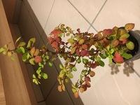 植物の名前を教えてください。 プレートがなく、買ってきた母も名前を見なかったらしいので、なんていう植物か名前がわかりません。 教えてください。