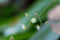 この植物は何でしょうか? 関東低山 標高200m 沢沿い 9月下旬 です。 ハコベのような形をしていました。