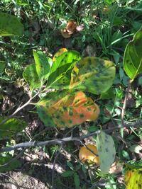 柿の葉に黒い斑点が出てますが これは病気でしょうか?
