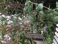 この木はなんの木で、なんの病気(虫食い)なのでしょうか。 ハダニかと思い薬をやったのですが、あまり効果がありません。 枯れてる枝もあり心配です。 枯れ枝は取ったのですが、上のほうはも っと激しく葉が食われて穴だらけです。 一体どうしたらよいでしょうか。