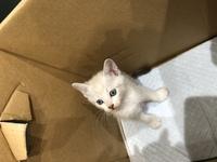 里親募集のサイトから子猫を いただいたのですが耳と尻尾が 黒くて、目がグレー?っぽいと なにとなにの雑種かわかりますか??