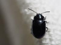 このハムシの種類を教えて下さい。 大きさは、8mm程度です。