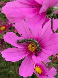 イモムシに詳しい方に質問です。 写真のコスモスの花を食べているイモムシは何という名前ですか?