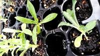 サカタのタネのミックスフラワーガーデンに入っていた種から育てたのですがこの苗は何がわかりますか?  センニチコウに似ているように思いますが冬に向かうのにこの時期の種でそれは無いかな ?と思いますが。。。 どこに植えようか迷っています。