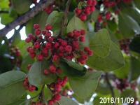 赤い実の木の名前を教えてください、岐阜県美濃加茂市二の塚公園で、見上げる大きさです、20181109,  全体図有り、
