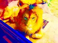 雄アフリカライオンと雄ベンガルトラは、どちらが強いですか? パワーは、雄アフリカライオンが勝りますかね?