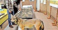 オオカミは鹿の食害対策に有効ですか? (静岡県伊東市の話)