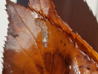 透明のイモムシ(うじ虫)のようなもの