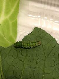 ほうれん草にくっついてたこの青虫を育ててみたいのですが、種類が分かりません。 どなたか教えていただけないでしょうか?