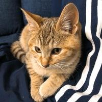 キジトラの猫ですが、写真ではわかりにくいかもしれませんが全体的に色が薄く白っぽく、背中の縞、耳裏がオレンジがかっています。手の縞は茶色です。 茶トラの血が入っているから茶色が強いの でしょうか。猫の...