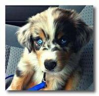 シベリアンハスキーとゴールデンレトリバーのミックス犬が飼いたいです。どうしたらいいですか?