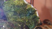 シャコガイの貝殻に気泡みたいなモノが沢山あります。これはなんでしょうか? 画像では緑色に見えますが、透明の気泡です。
