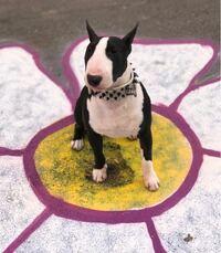 このワンちゃんの犬種を教えてください! インスタでよく見ていてとても可愛いので知りたいです!