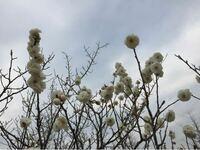 白い八重咲きの梅です。 何という名前の梅なのでしょか? わかる方、教えて下さい。