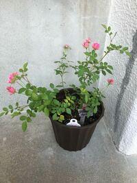 ミニバラを購入して鉢に植え替えました。 どういう世話をすればいいんでしょうか? 土はバラの培養土を使っています。 枝が傾いてるんですがこれは普通ですか? 肥料はまだ上げない方がいいと聞いたのでひりょう...