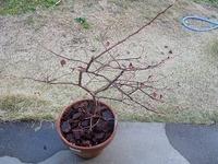 ブルーベリーに花芽が付きません。  鉢植えのブルーベリーを10鉢ほど育てています。 今年もそろそろ花芽が付き始めましたが、なぜか全然花芽が付かない鉢が2つあります。 去年実が採れた後、放っておいたのが...