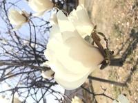 この花はコブシですか?ハクモクレンですか?