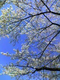 【大喜利】***シルバアちゃんの知恵袋***  春といえばお花見です。  お花見といえば? お花見に欠かせないあなたの必須アイテムを  大喜利で教えてくださいまし。  (* ̄▽ ̄)/