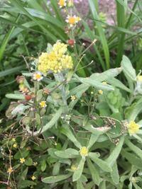 ハキダメギクと一緒に写っている草は、黄色い花が咲いているので、ハハコグサだと思うのですが、あっていますでしょうか?