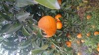 これは、酸っぱい柑橘類のようですが、何か分かりますか?家の敷地に前からなっています。 よろしくお願いします。