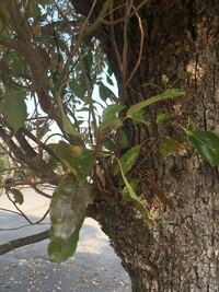 樹皮は縦に裂け目が入り、葉は三行脈なので、クスノキだと思うのですが、あっていますでしょうか?