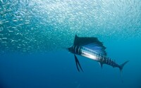 シャチよりもカジキの方が実は圧倒的に強くありませんか? 以下のスピードを見ればわかりますがカジキはシャチの2倍程度のスピードで泳げます。 運動エネルギーの法則では確かスピードが2倍になるとパワーは4倍ということになります。 シャチは一体自分の4倍のパワーを持っている生物を相手にどう戦うんでしょうか???  哺乳類  シャチ:65km/h  シロハラセミイルカ:45km/h  マ...