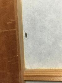 虫に詳しい方お願いします。 最近ほぼ毎日この虫を家の中で見るんですけど、この虫はなんと言う名前の虫ですか?  見にくい写真ですみません...