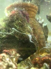 海水魚系に詳しい方教えてください。 自宅で海水魚を飼っているのですが その水槽の岩や地面に 白い糸のようなものが複数ついてます。 (写真ご覧ください)  これは何でしょうか? 掃除した方がいいのか、 残して...